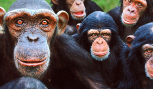 Monkey World – Day Trip direct from the Island including Coach Travel, Ferry Crossings and Entrance – Adult price £43.00