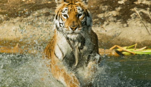 Isle of Wight Zoo, Sandown – Behind-the-Scenes Big Cat Training Experience for Two – normally up to £210.00 deal price £140.00