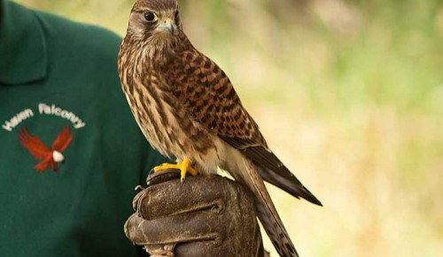 Haven Falconry, Havenstreet – Falconer for the Day Experience for One or Two People – normally up to £135.00 deal price from £79.95
